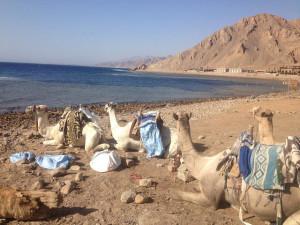 My Camel Safari to Dive Abu Galum, Egypt