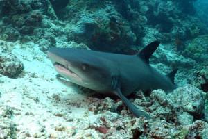 Borneo From Below: Shark Special