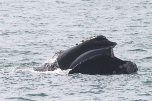 Biologists monitoring ailing whale spotted off coast of Jupiter Island